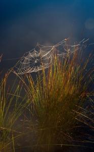 Spindelnät i morgonljus